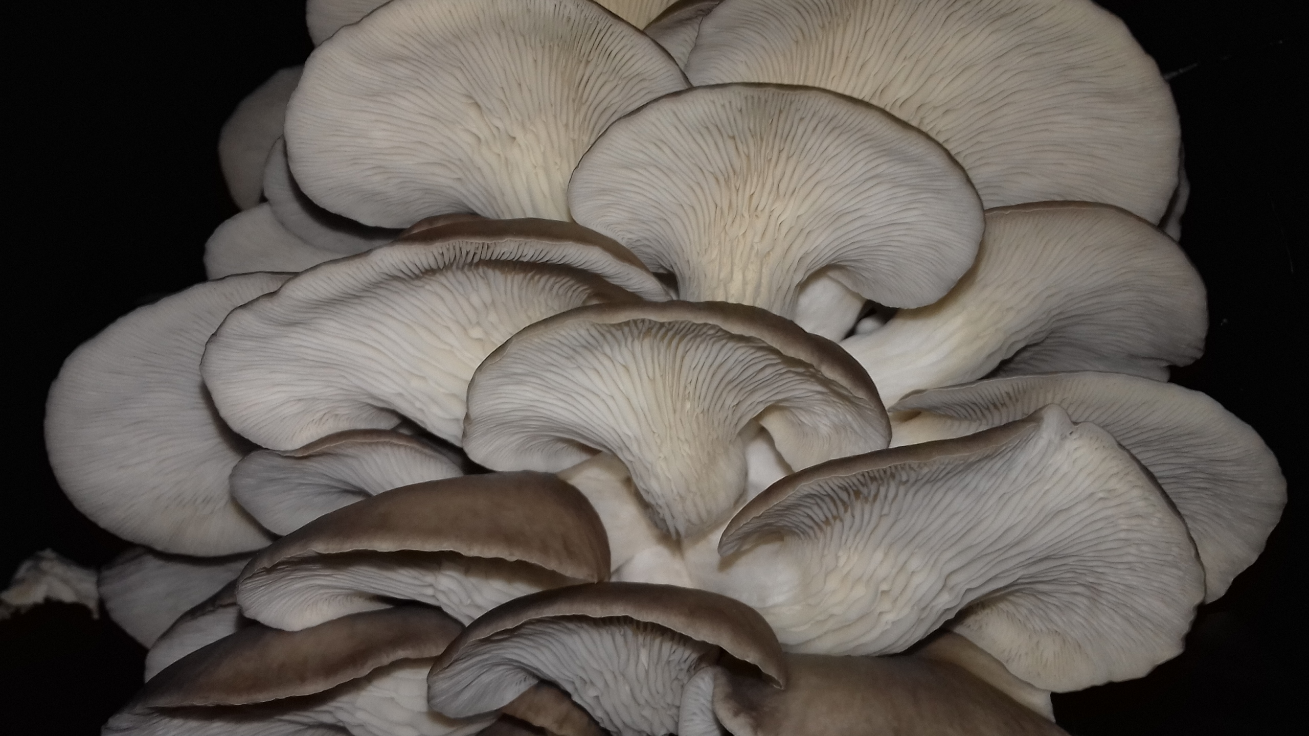 Pleurotes-gris